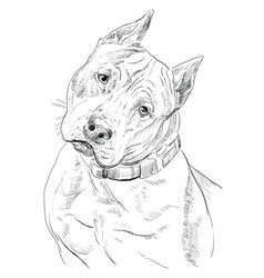 American staffordshire terrier hand drawing vector