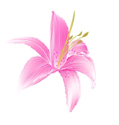 Spring flower lily pink daylily vector