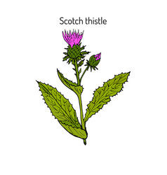 Milk thistle plant vector