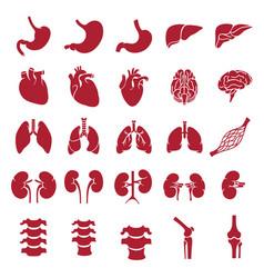 Internal human organs red vector
