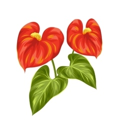 Bouquet of two decorative flowers anthurium on vector