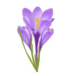 Crocus flower vector