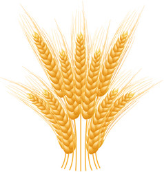 ripe ears wheat set isolated detailed template vector image vector image