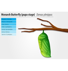 Monarch butterfly - danaus plexippus - pupa stage vector