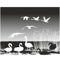 Swans on the river vector
