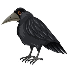 Black crow standing on white background vector image vector image
