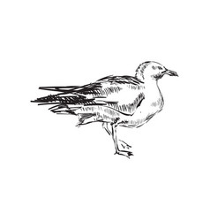 Seagulls hand drawing vector