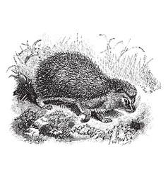 West european hedgehog vintage vector