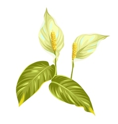 Bouquet of two decorative flowers spathiphyllum on vector