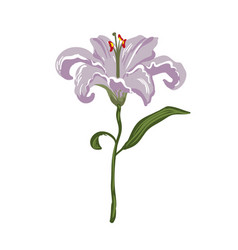 realistic vivid light violet lily on white vector image