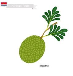 Ripe breadfruit a popular fruit in kiribati vector
