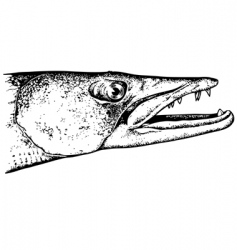 barracuda vector image vector image