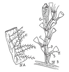campanularian hydroid vintage vector image vector image