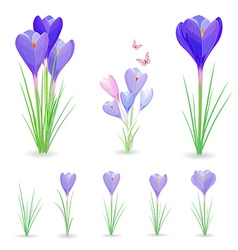 collection of crocuses with butterflies for your vector image vector image