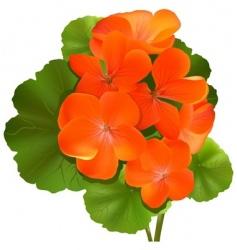 flower pelargonium vector image