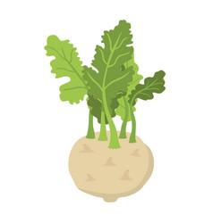 green kohlrabi fresh organic vegetable vector image vector image