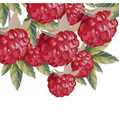 Watercolor Raspberries fruits vector image