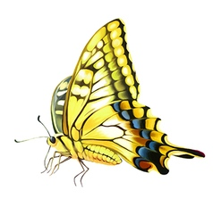 Yellow butterly vector