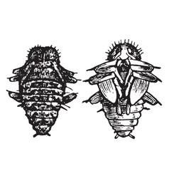 Fungus beetle pupa vintage vector