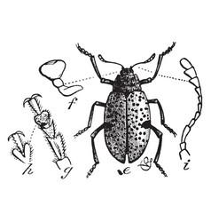 Fungus beetle vintage vector