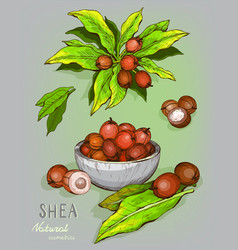Shea nuts plant berry fruit vector