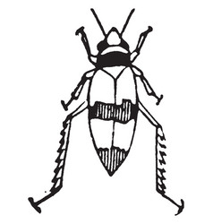 Threebanded grape leafhopper imago vintage vector