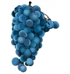 Blue grape vector