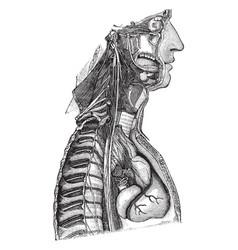 Sympathetic nerve vintage vector