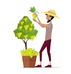 Man Picking Grape During Wine Harvest vector image vector image