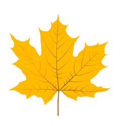 yellow autumn leaf isolated on white background vector image vector image