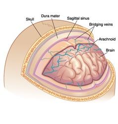 Human brain layers vector
