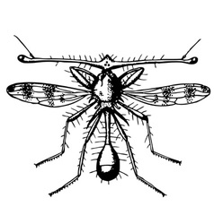fly diopsidae vector image vector image