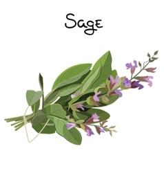 Sage herb vector