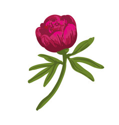 the single flowering dark pink peony vector image