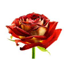 Realistic wet red rose isolated on white vector