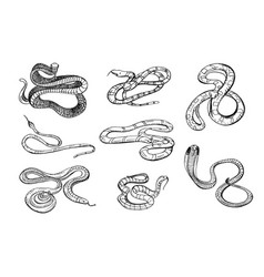 Set of various snake viper cobra and other black vector