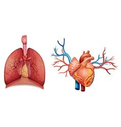 Heart organ vector image vector image
