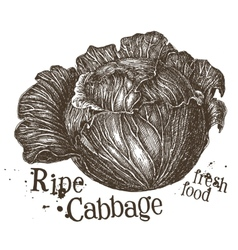 Fresh cabbage logo design template fresh vector