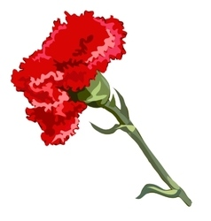 Single flower red carnation vector