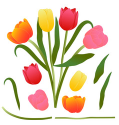 colorful bouquet tulip isolated on vector image vector image