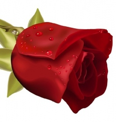 Rose with raindrops vector