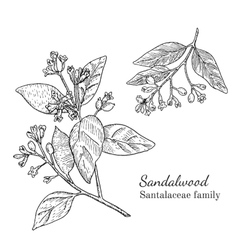 Ink sandalwood hand drawn sketch vector