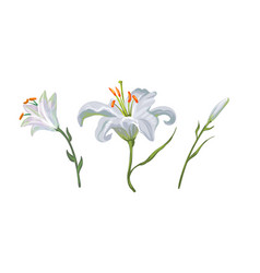 with white lily flowers in different vector image vector image