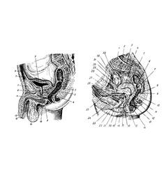 Human sex organs vector image vector image