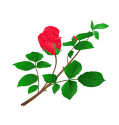 Rosebud red stem with leaves and blossoms vintage vector