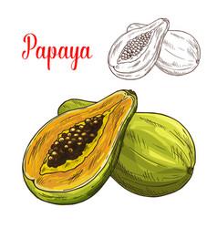Papaya exotic tropical fruit sketch icon vector