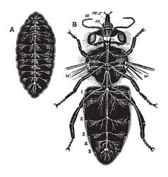 Bee nervous system vintage vector