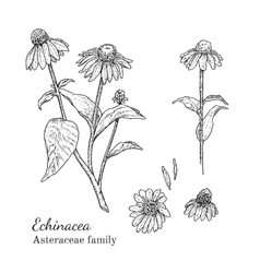 Ink echinacea hand drawn sketch vector image vector image