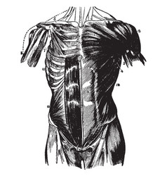 Muscles of the abdomen vintage vector