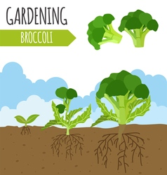 Garden broccoli plant growth vector